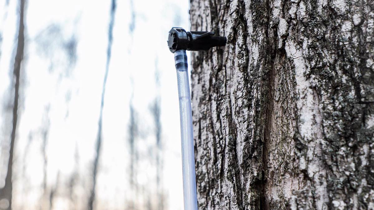 maple-syrup-tree-tap