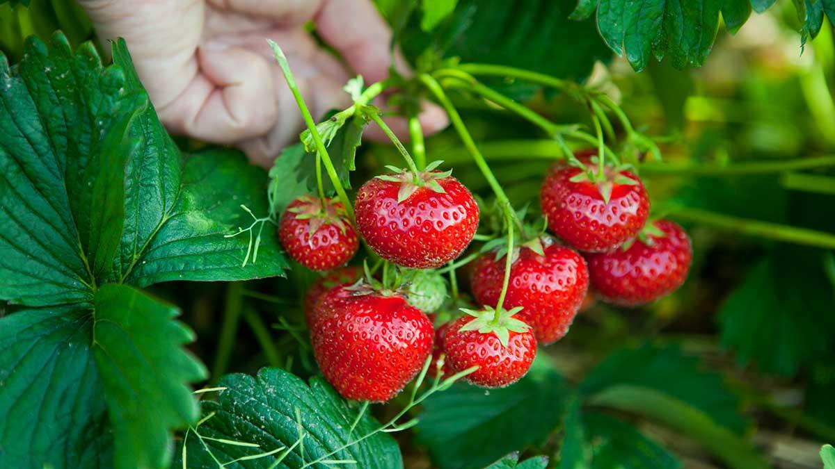 Comment poussent les fraises ?