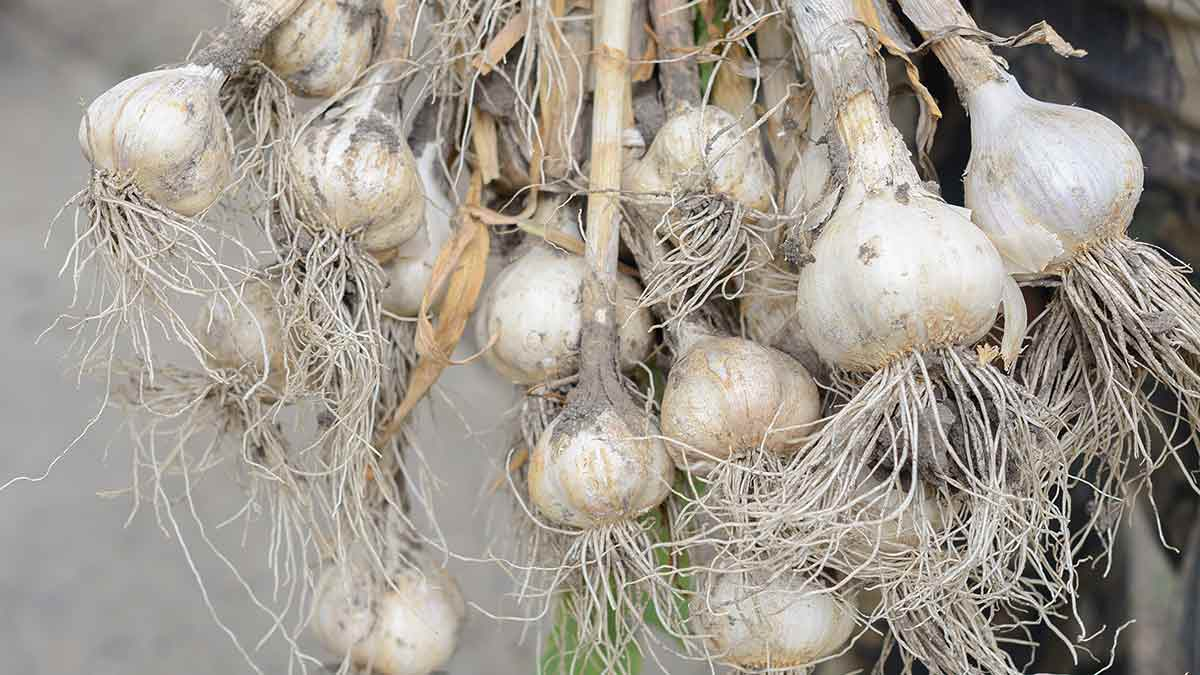 Comment se fait la récolte de l'ail ?