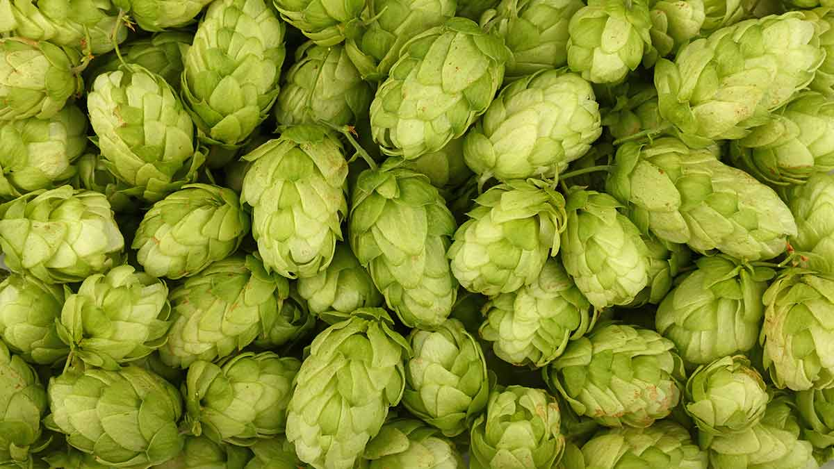 what-are-hops
