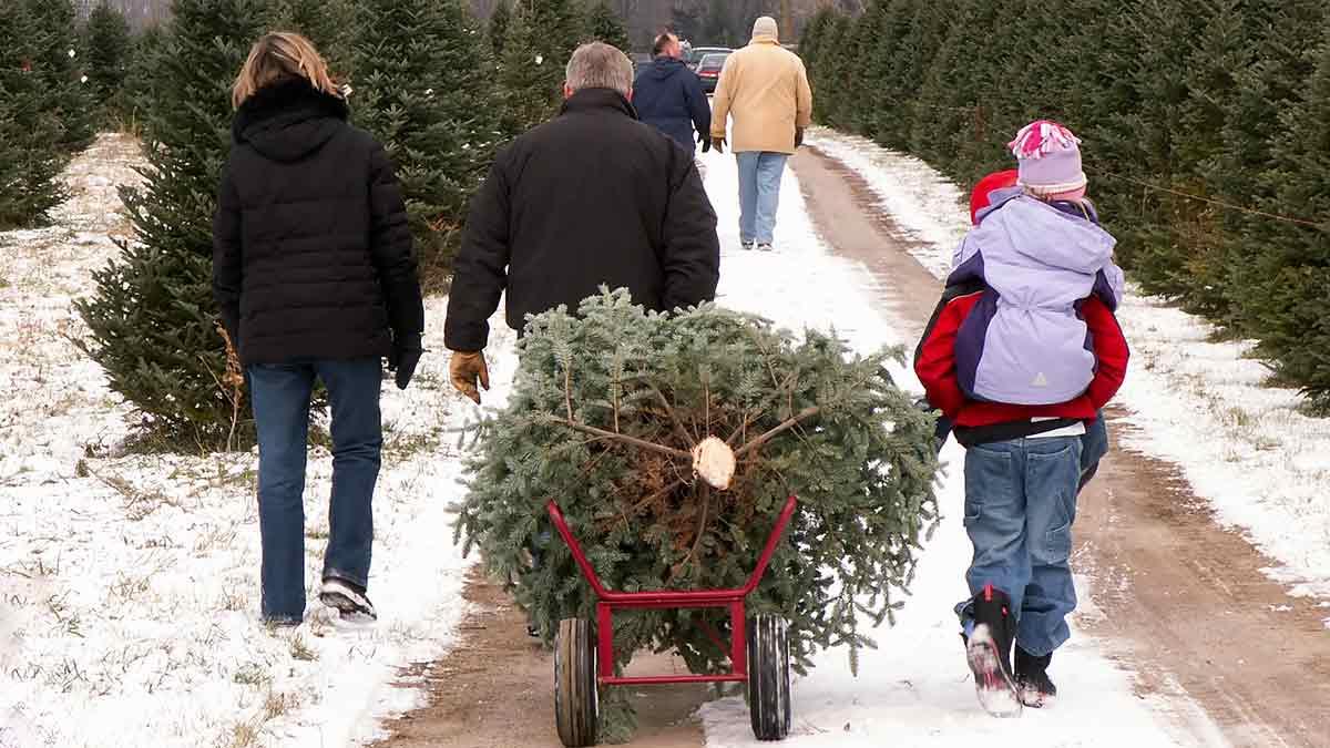 christmas-tree-farming