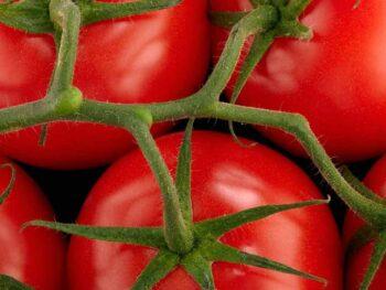 round-tomatoes