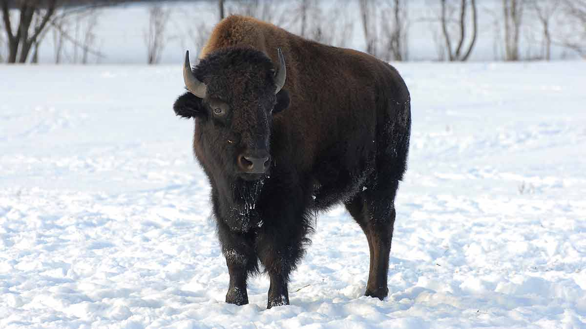 How-are-bison-raised
