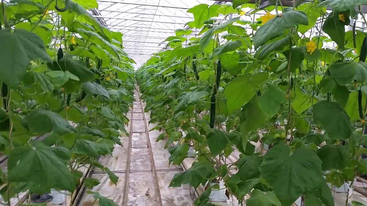 cucumber-greenhouse