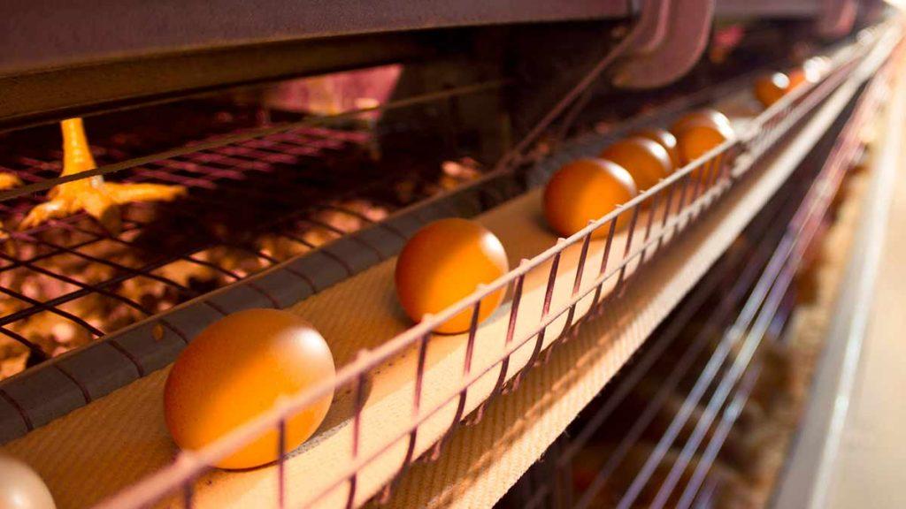 egg-farm-conveyor