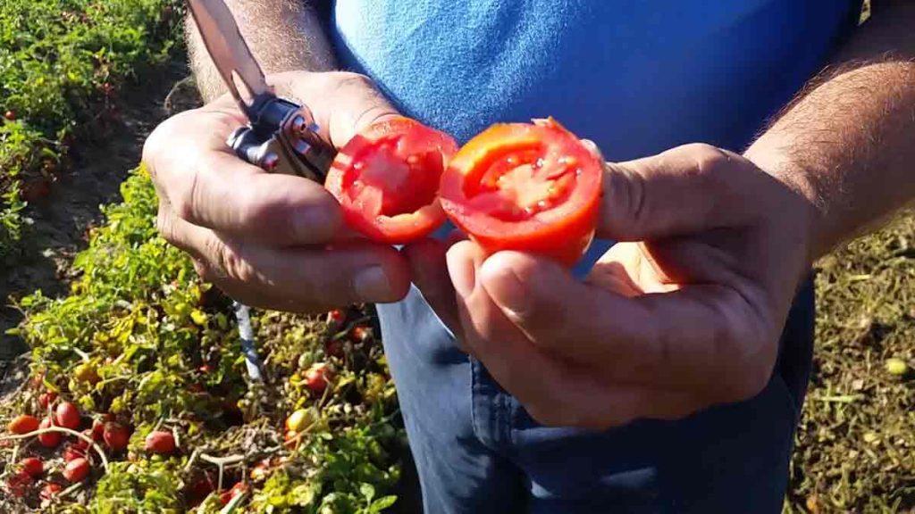 field-tomato