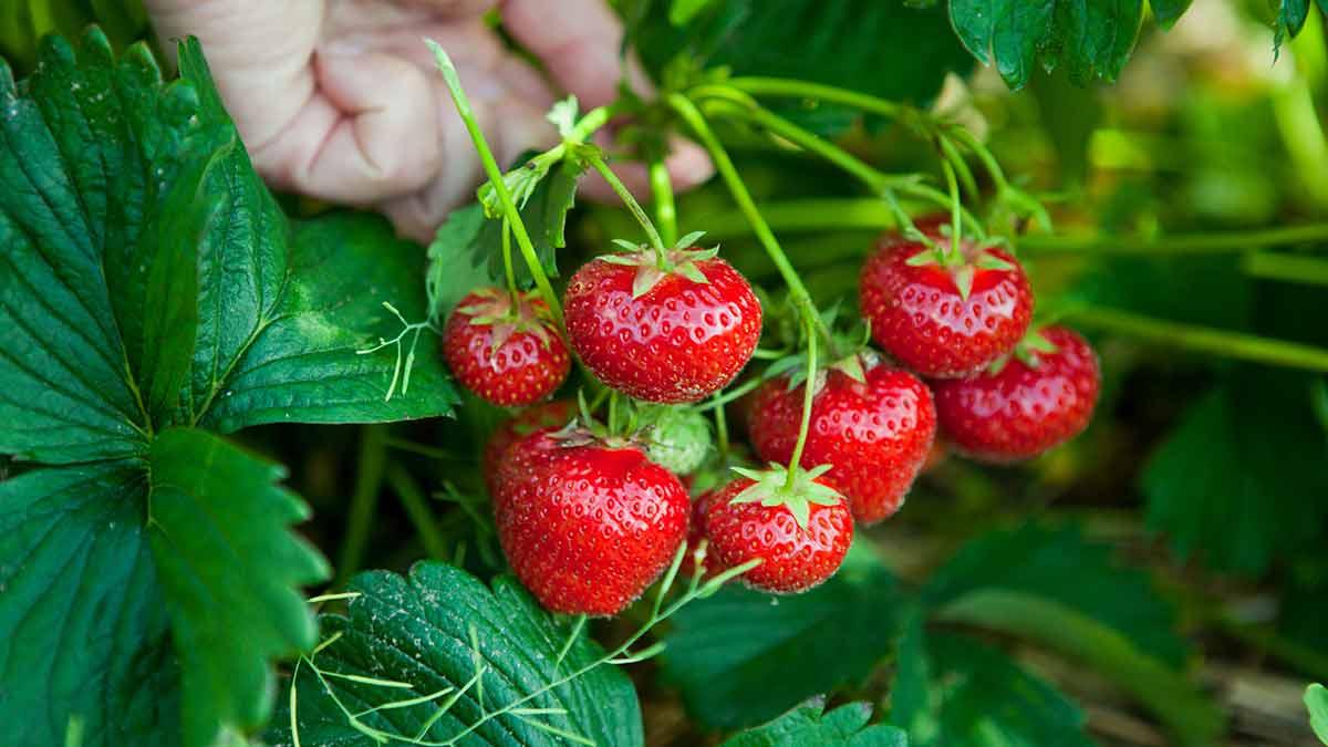 strawberries-in-hand