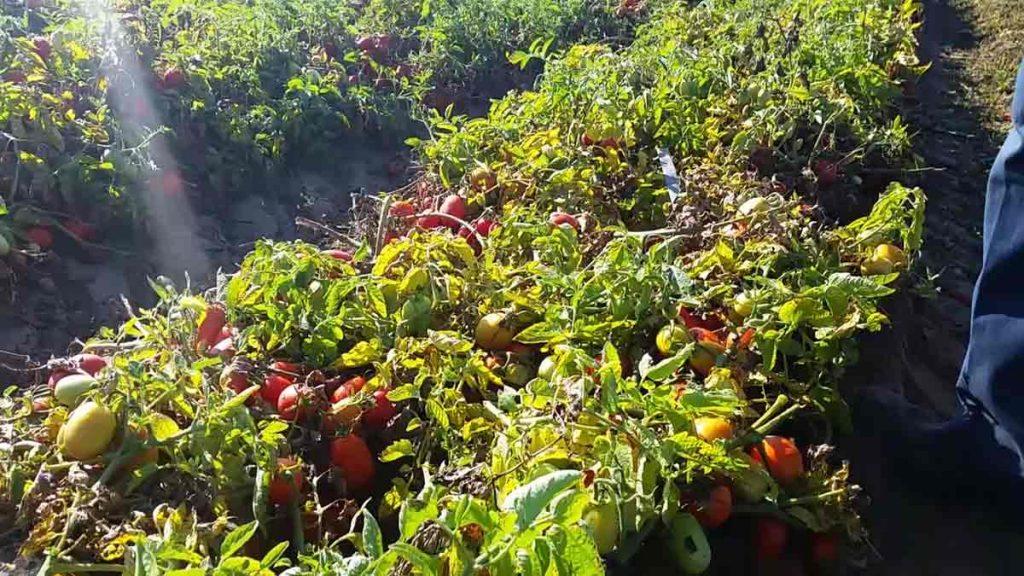 tomato-field