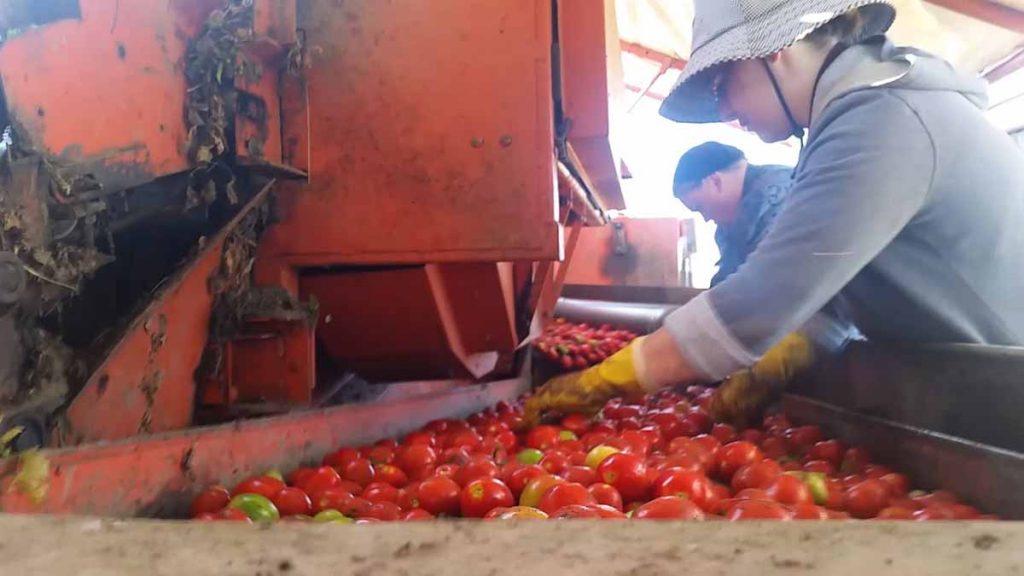 tomato-sorting