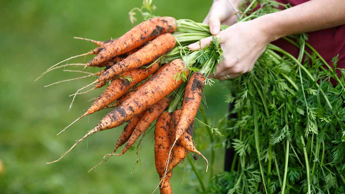 carrots-in-hand